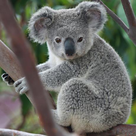 koalaxiaot
