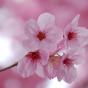 @SakuraComputing