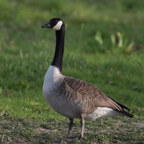 Real Goose