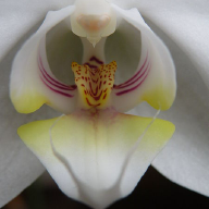 @orchid-hybrid